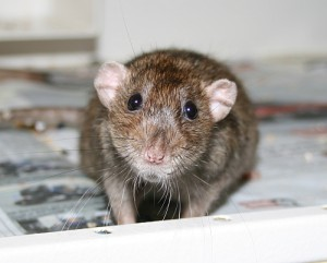 der Rattengnom